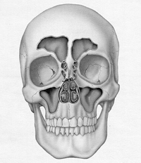 Skull with Sinuses